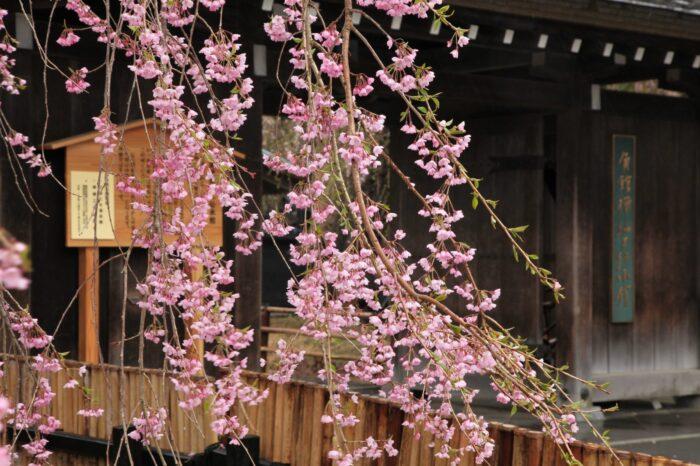 角館武家屋敷と桜