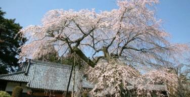 蒼龍寺と枝垂桜