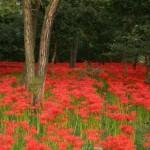 林の中の緋色の絨毯