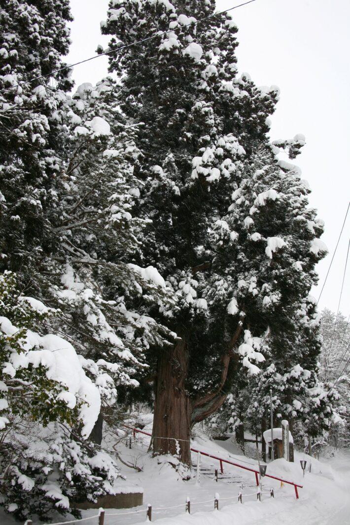 御座の石の杉