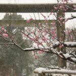 梅と雪 上野五條天神社