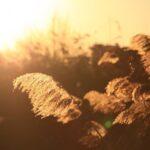 黄金色に輝く葦