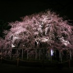 六義園の夜桜