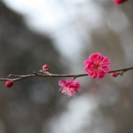 菅谷館跡の紅梅