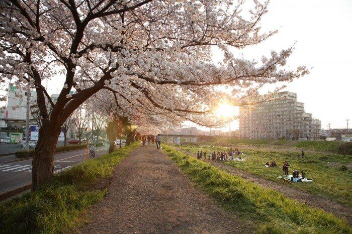 柳瀬川の桜並木