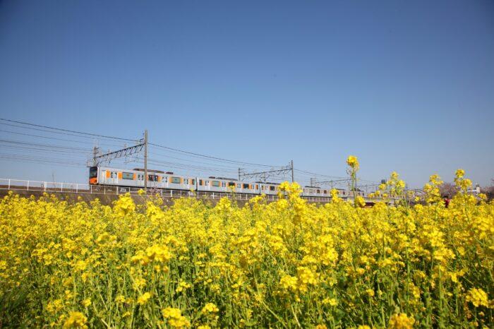 菜の花と東武東上線
