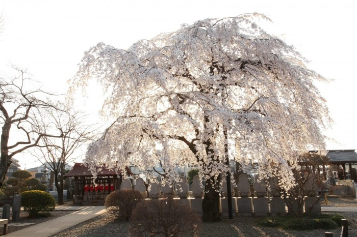 宝幢寺のしだれ桜