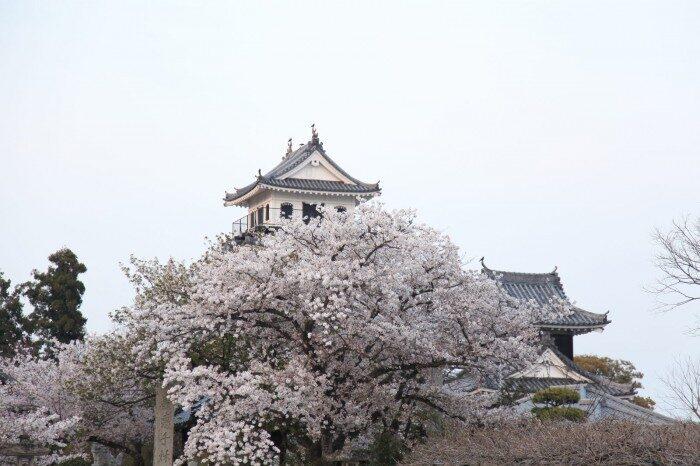 桜と中津城
