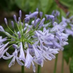 櫛田神社の紫君子蘭