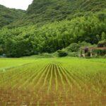長崎県西海市大瀬戸町 早苗の並ぶ風景