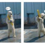 """北海道釧路市動物園に世界も注目! """"動きが人間っぽ過ぎる!""""と話題のしろくま「ミルク」、待望の写真集が8月12日(水)発売"""