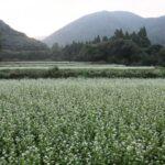 猪苗代湖畔のそば畑