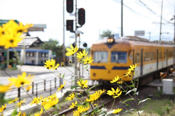 一畑電車とキバナコスモス