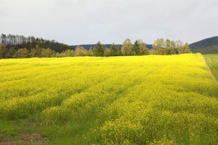 北見市留辺蘂町のキカラシ畑