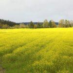 北海道 秋の絶景 北見市留辺蘂のキカラシ畑