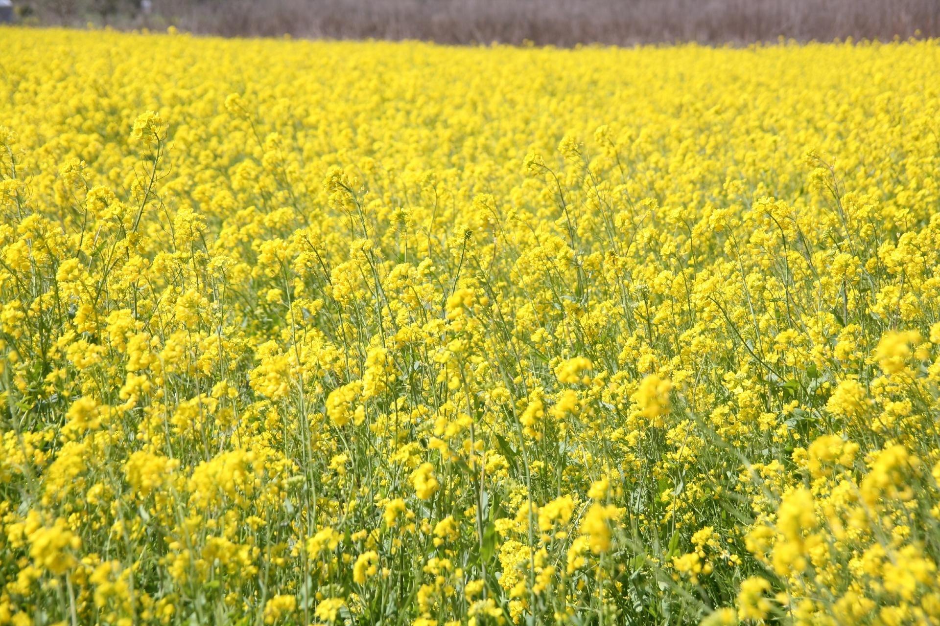 知る人ぞ知る穴場の菜の花エリア 肱川左岸の五郎河川敷の菜の花