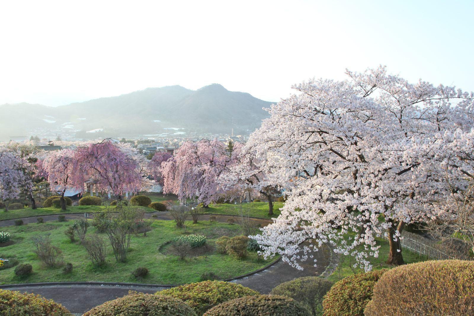早朝の月岡公園と桜
