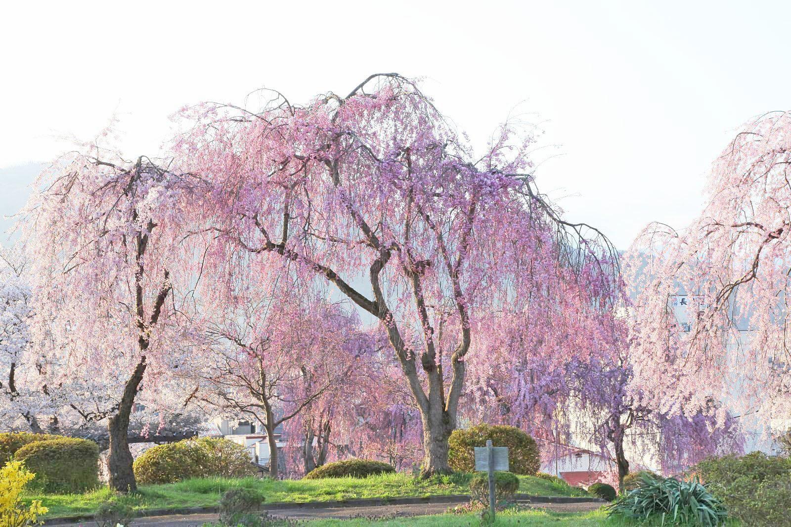 まるで桜色のシャワーのような光景 日の光に透けて見えるその様子は感動的
