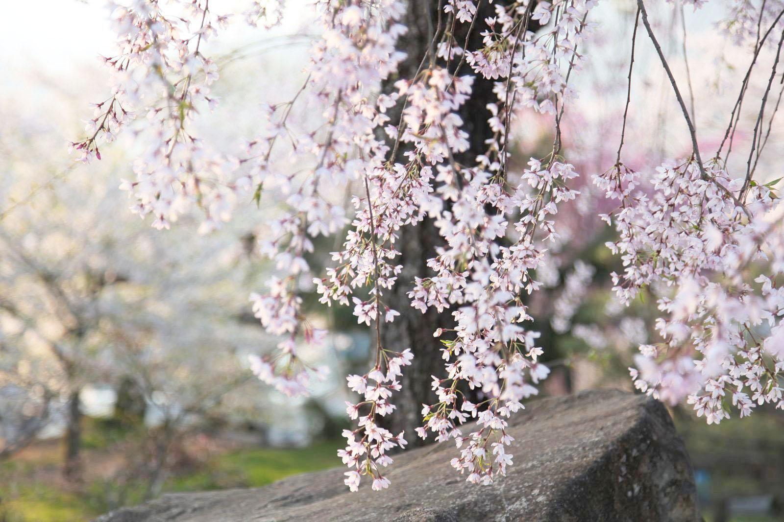 月岡公園の見事なしだれ桜