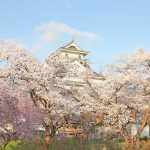 早朝の上山城と桜