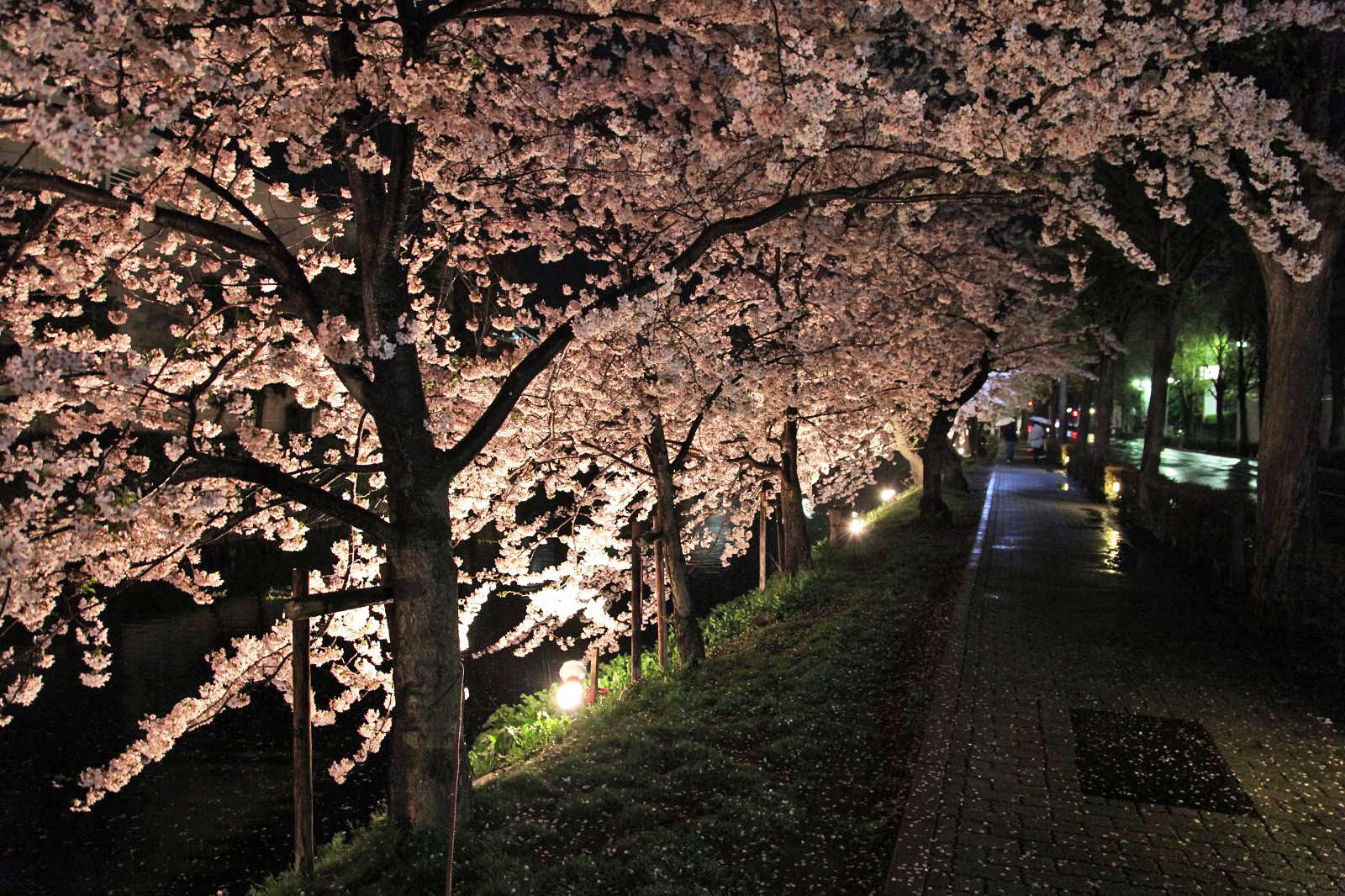 松本城のお堀とライトアップされた夜桜
