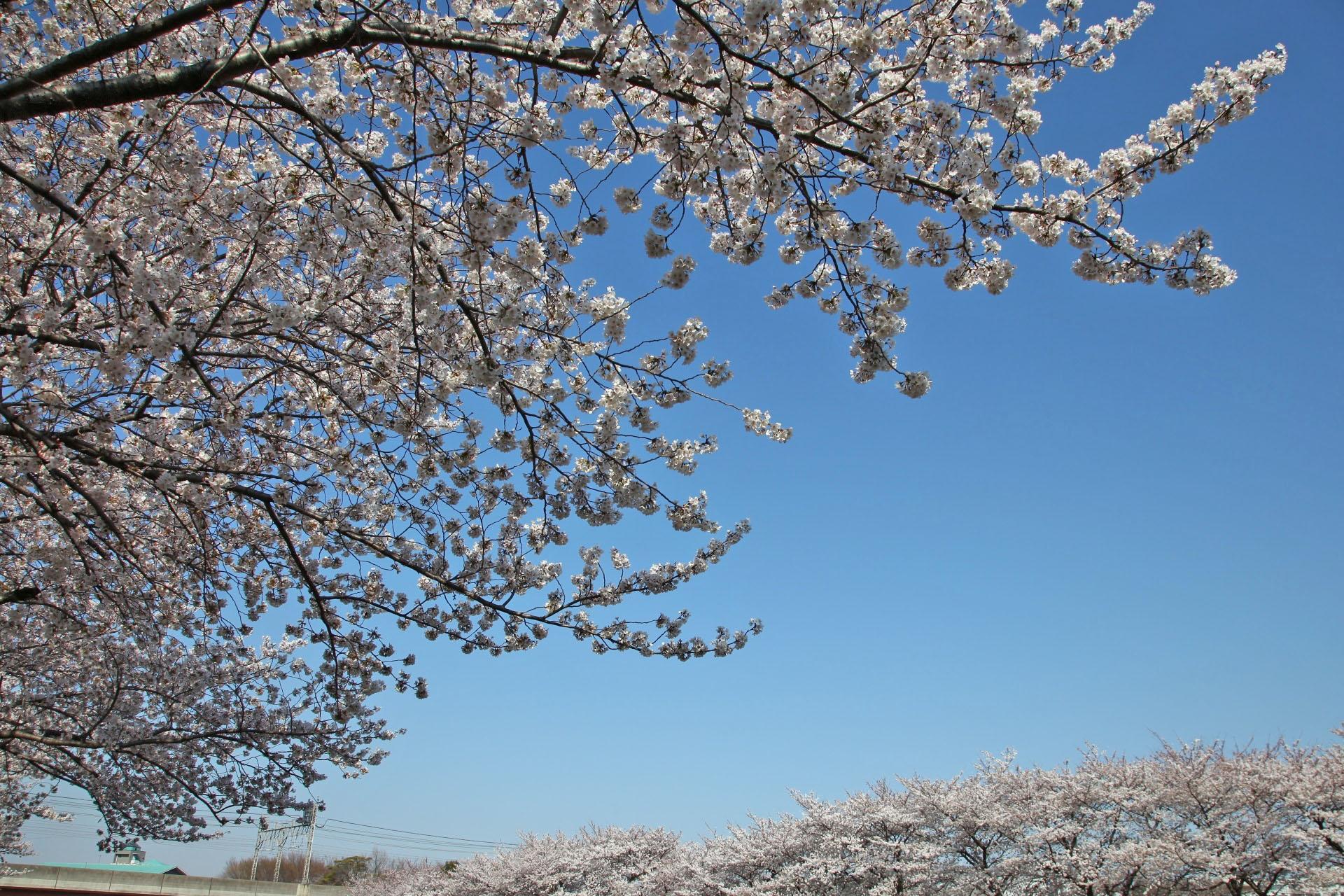 朝霞台 黒目川の桜