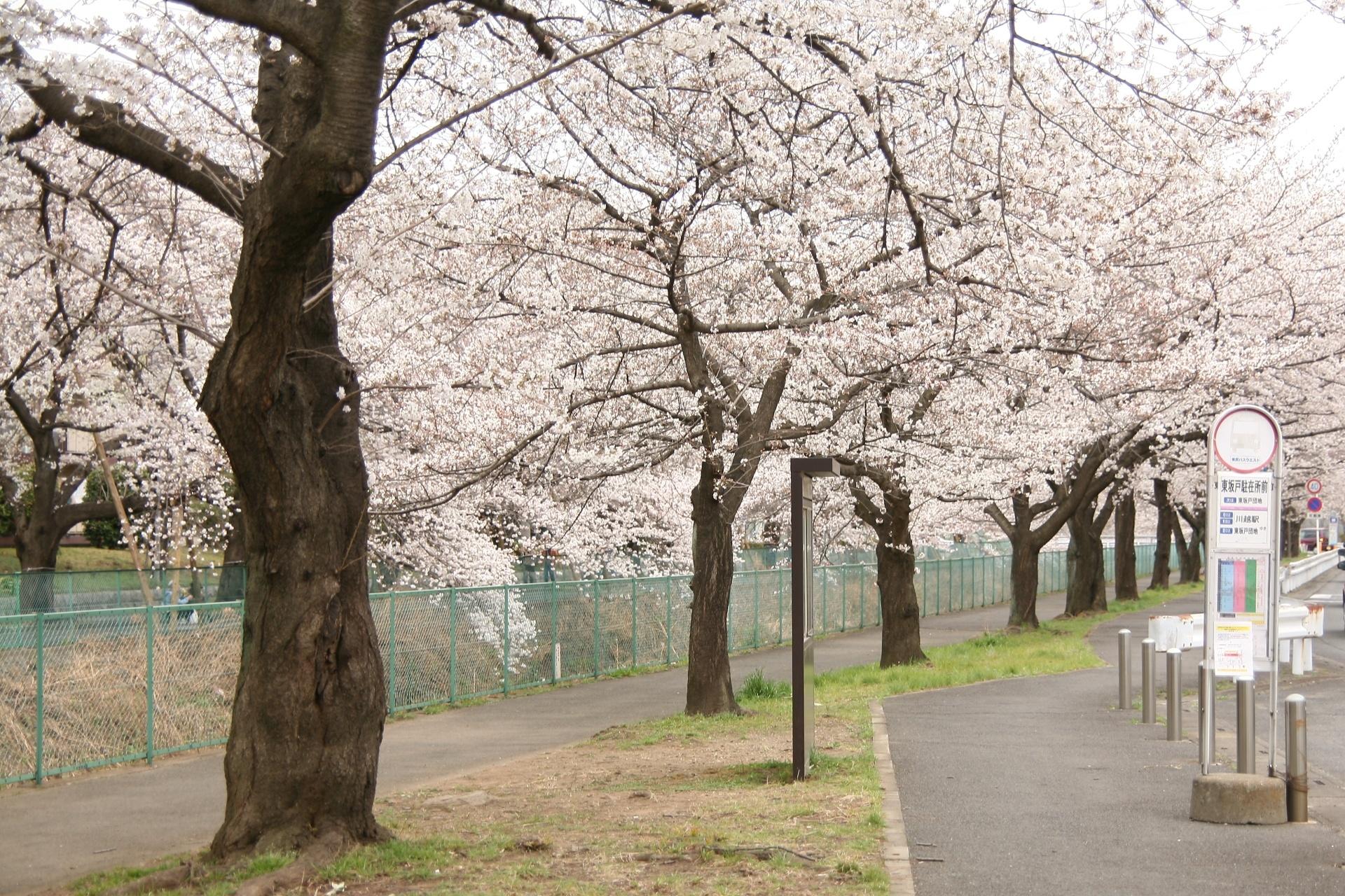 東坂戸の小川の桜並木