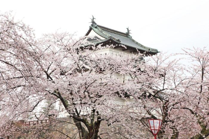 弘前公園(弘前城)の桜の美しさの秘密に迫る