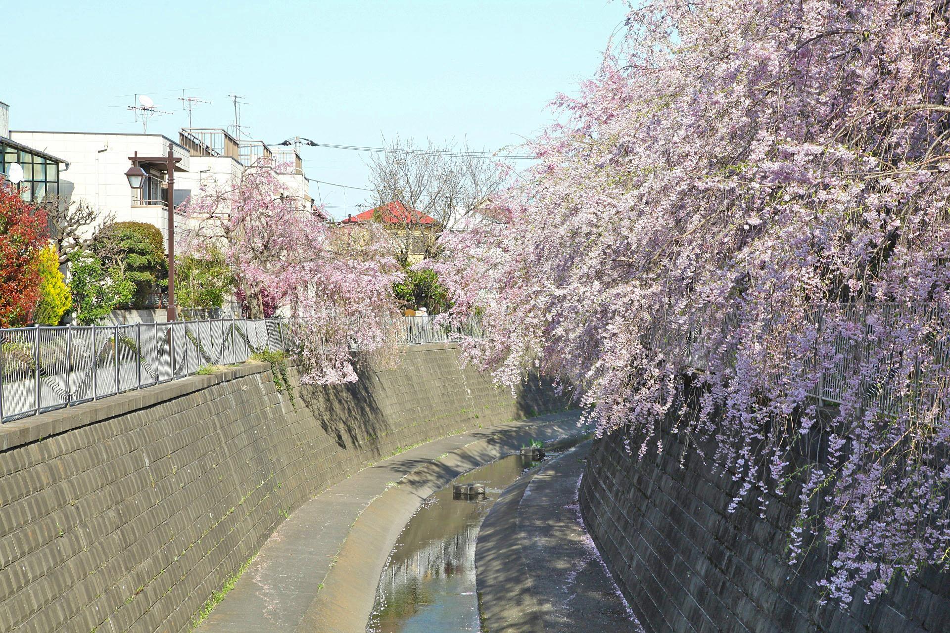 妙正寺川と枝垂れ桜