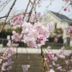 妙正寺川の枝垂れ桜