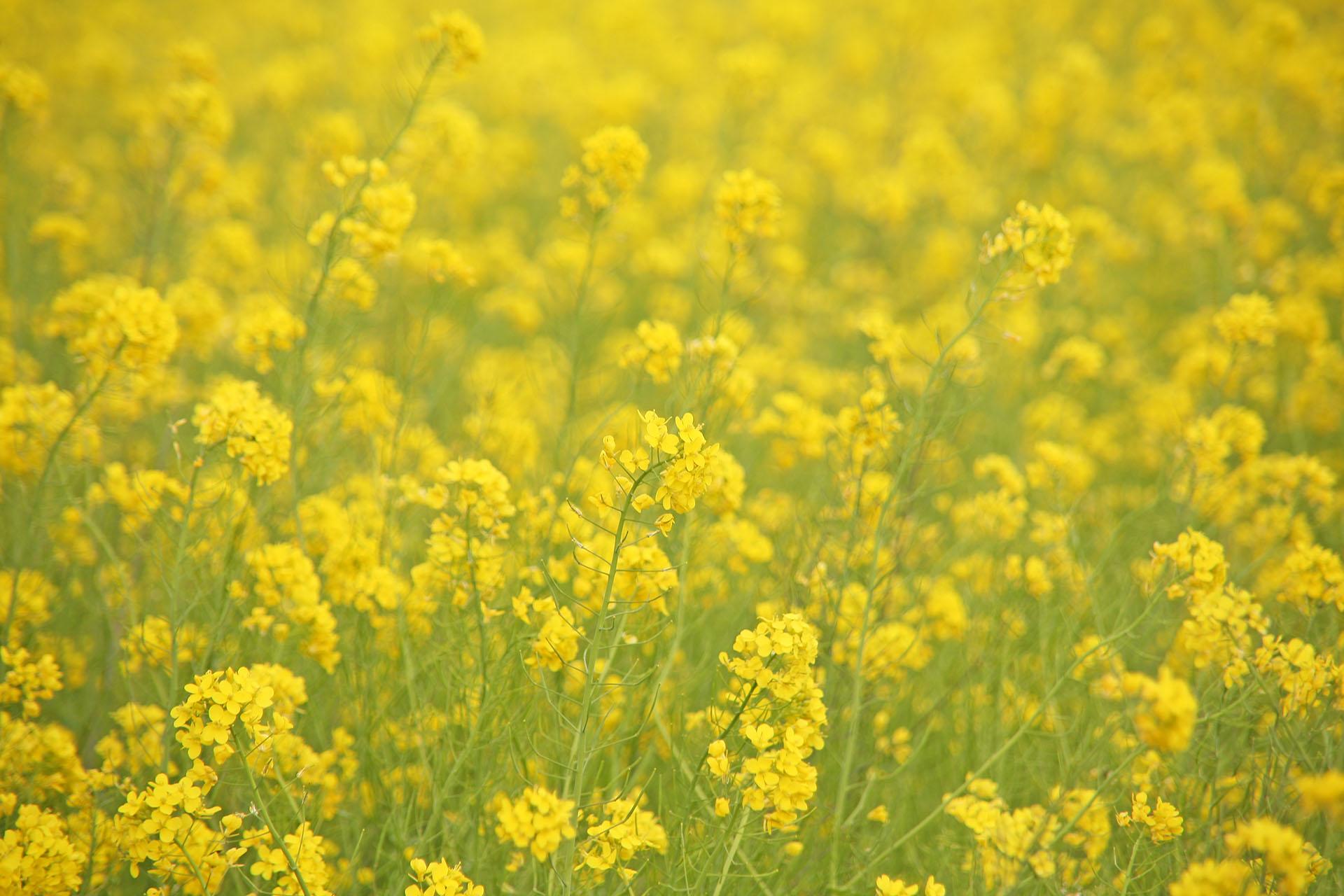 幸手の菜の花