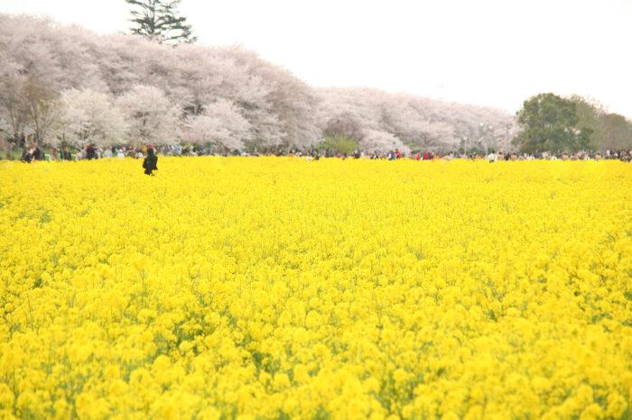 「幸手」(さって)の桜と菜の花の、思わず「幸せ」になる風景!