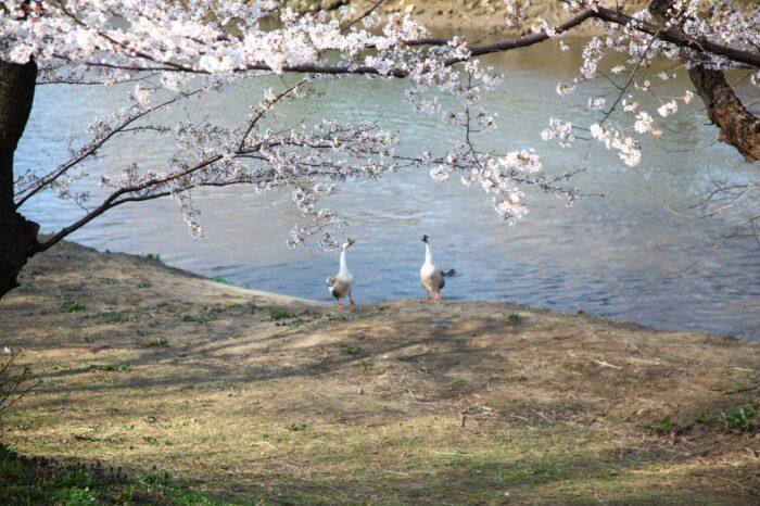 東京近郊のおすすめ!桜の花見スポット 埼玉編