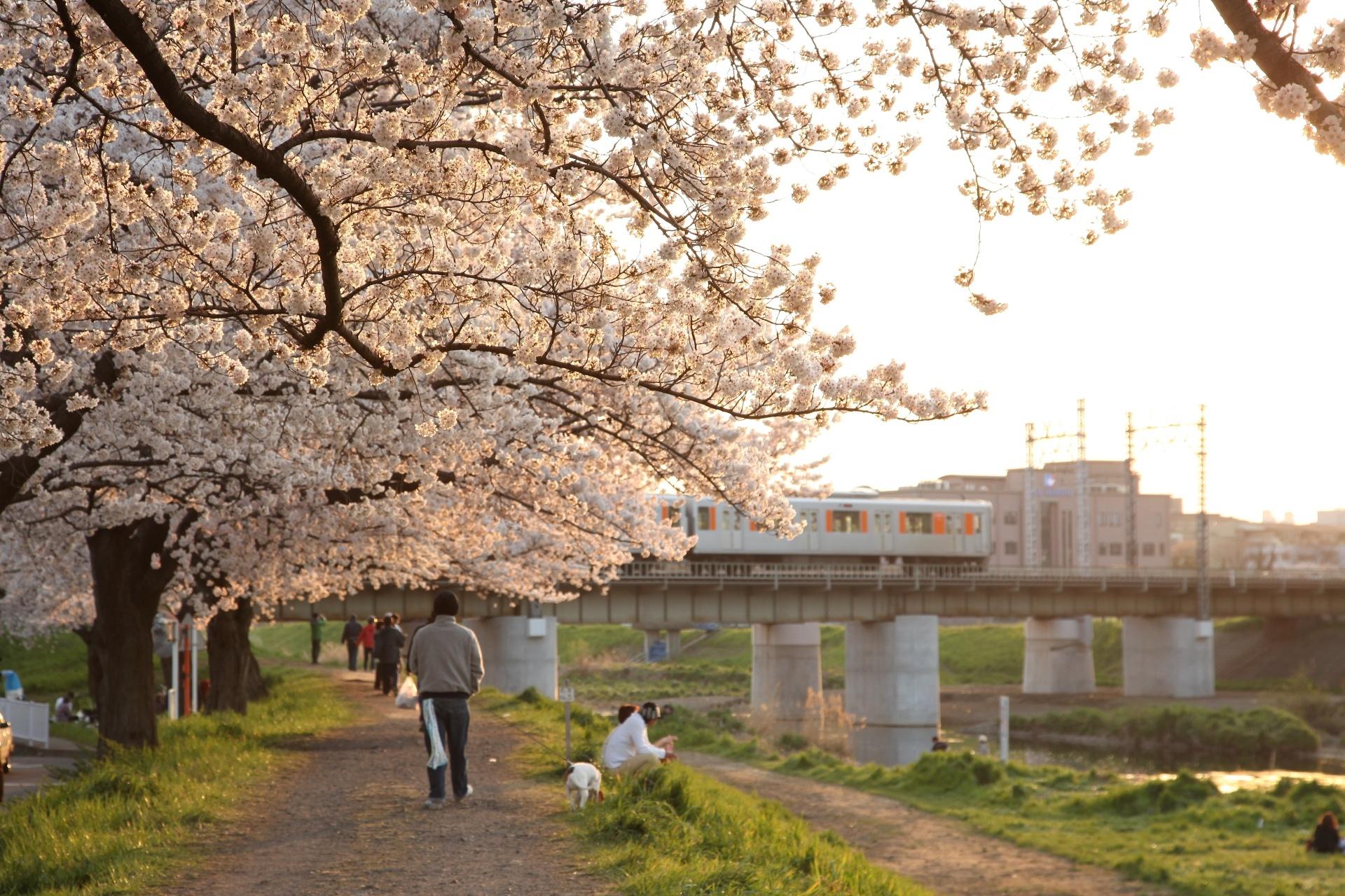 柳瀬川の桜