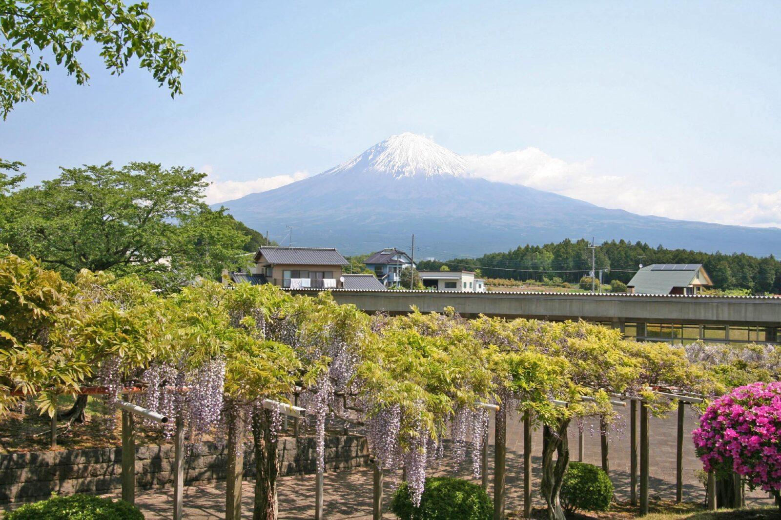 藤棚と富士山