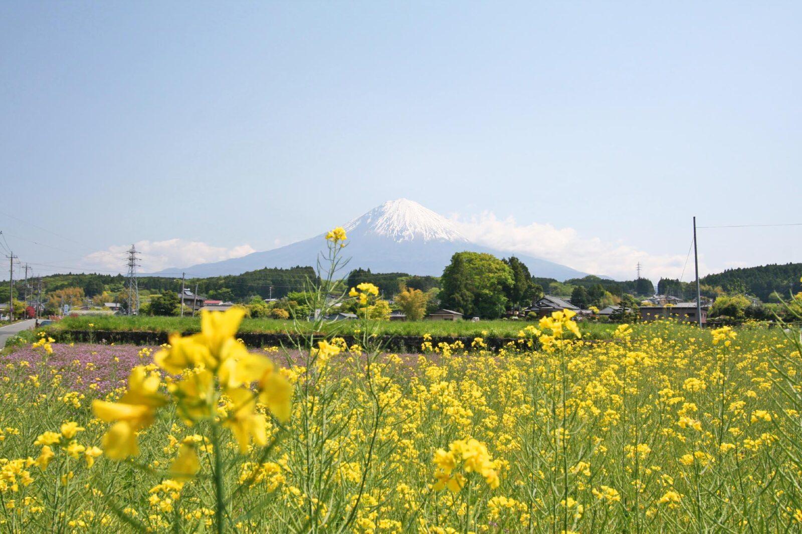 菜の花と春の富士山