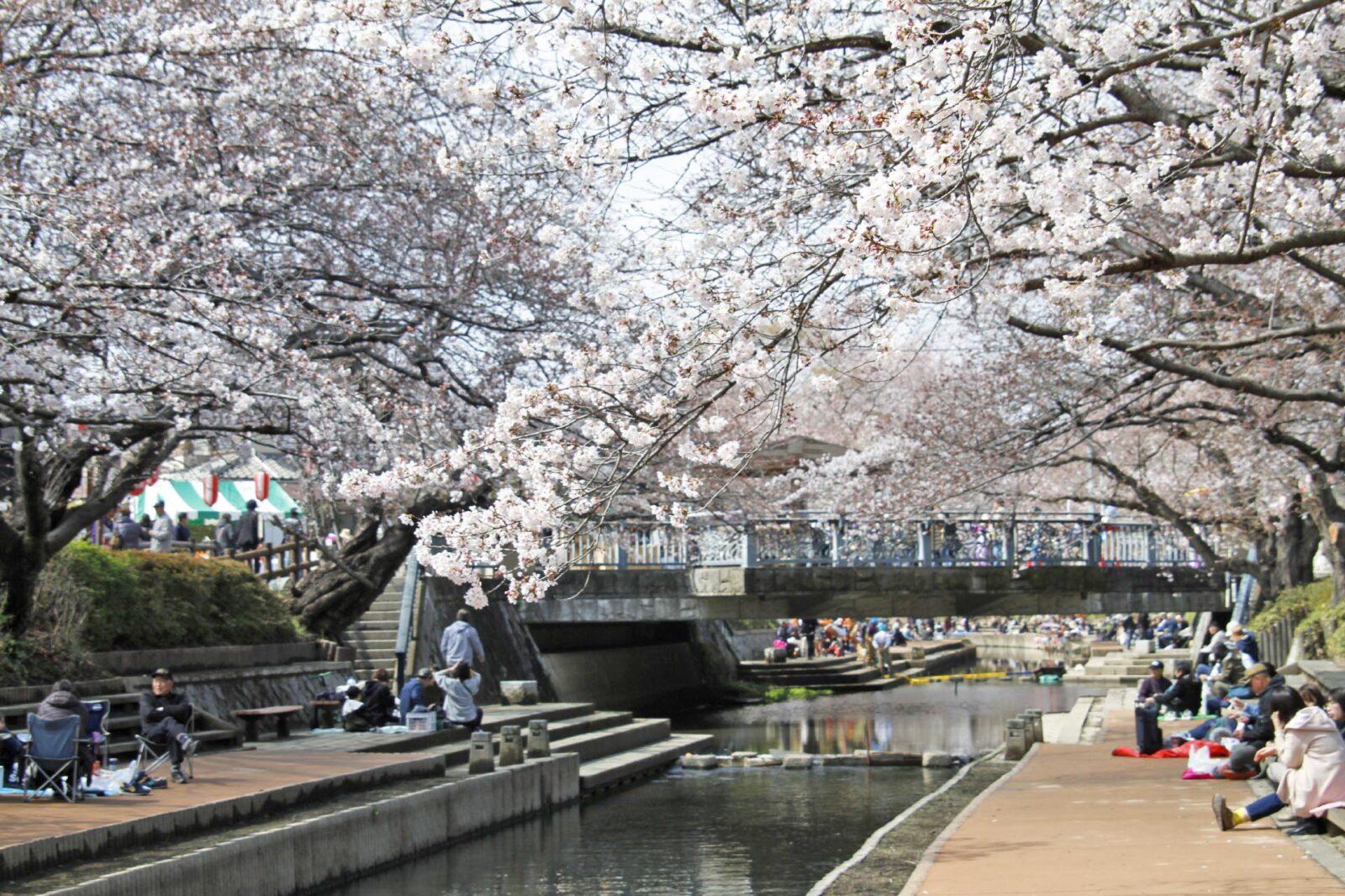 元荒川の桜と花見風景